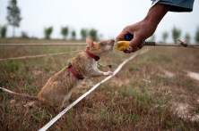 Leyla, an APOPO mine-detecting rat, takes her reward for locating a potential landmine in the training field outside of Siem Reap.  The rats have been trained to scratch at the surface of the soil when they smell explosive chemicals, and are rewarded to respond to a clicking sound made by the handler to go and receive a food reward.