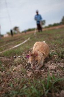 APOPO landmine-detecting rat Leyla searches for the scent of explosives on one of her last training runs just outside Siem Reap, 25 January 2016. After months of in-country training, the rats are preparing to start working in a live minefield to the east of Siem Reap, Cambodia.